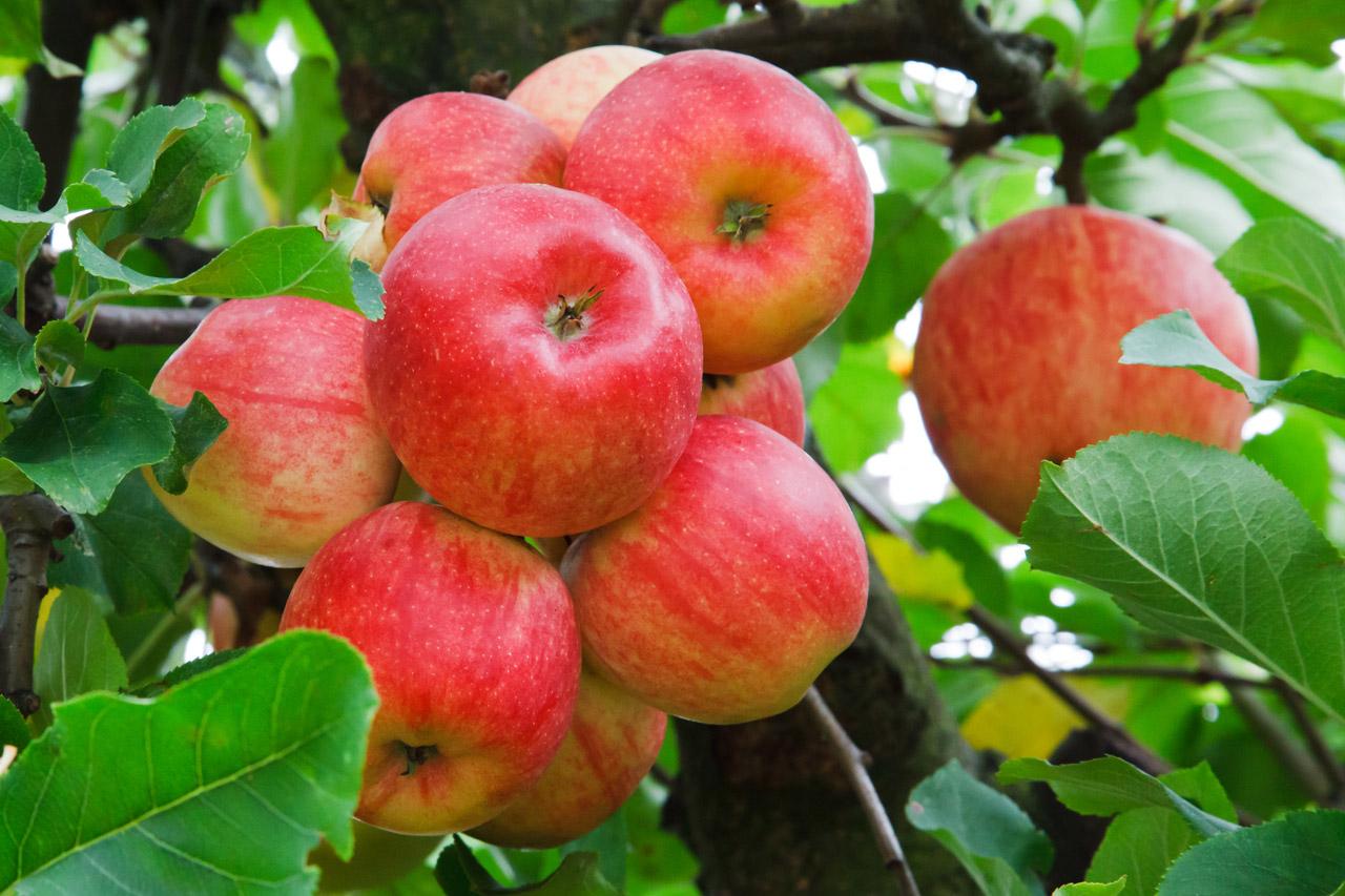 Pomme rouges sur l'arbre